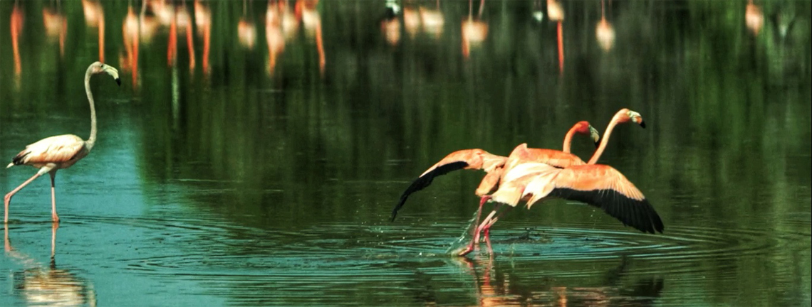 Flamingos in protected areas